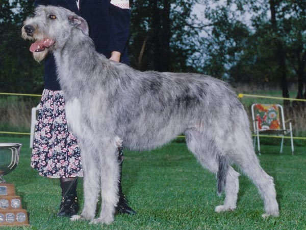 profile-wolfhound-side