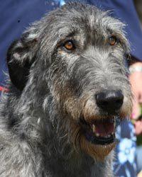 profile-wolfhound-thumb
