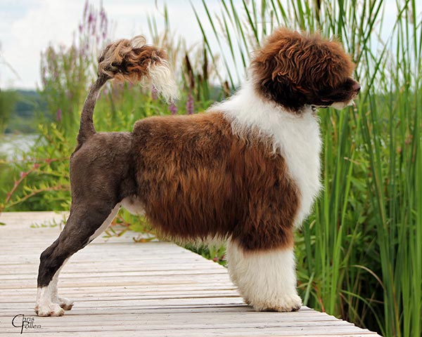 Light brown portuguese water dog - photo#1