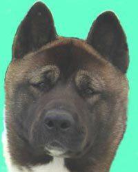 profile-akita-thumb