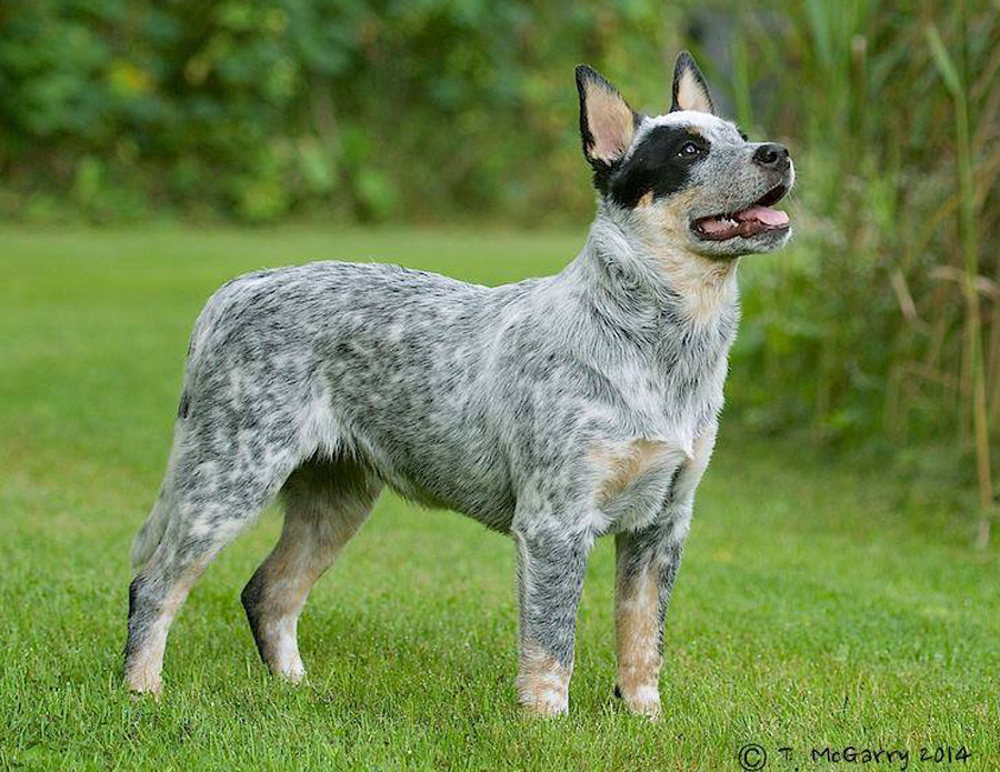 Red Roan Cattle Dog