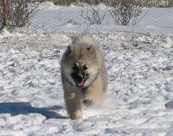 eurasier-puppy