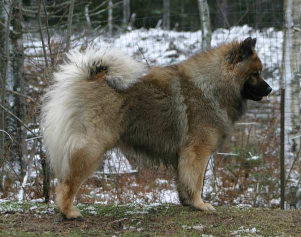 eurasier-side