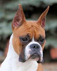Boxer-head