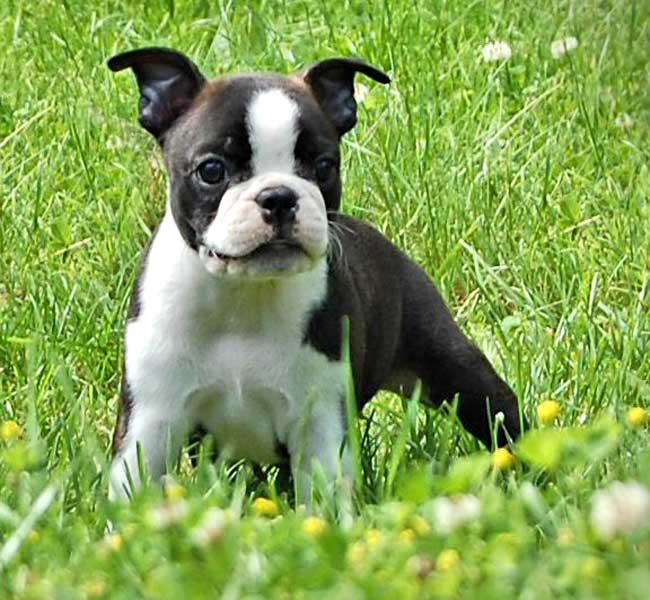 boston-puppy