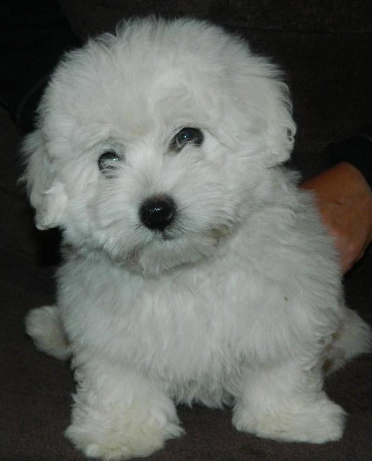 coton-puppy